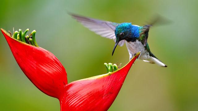 Oiseau Mouche sur Fleur Rouge - Fond d'écran en Full HD