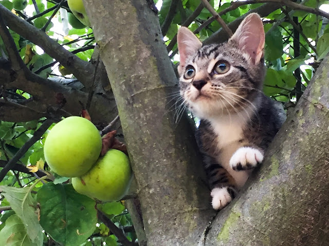 A little tabby kitten in an apple tree peeking out between two branches