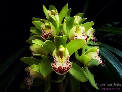 Orquídea Cymbidium verde