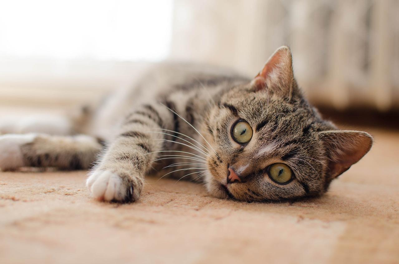 gambar kucing baring