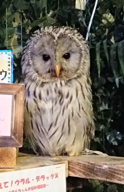 Hermosa Lechuza del Owl no mori de Asakusa.