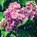 Crepe Myrtle Leaves Benefits For Diabetes And Hypertension
