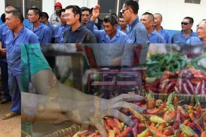 Serangan China ke Indonesia, Mulai dari Tenaga Kerja hingga Cabai Berbakteri