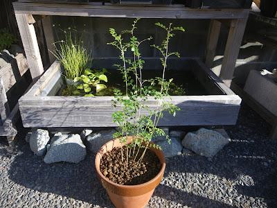 シマトネリコ 鉢植え