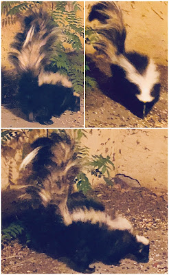 collage of American skunk, male
