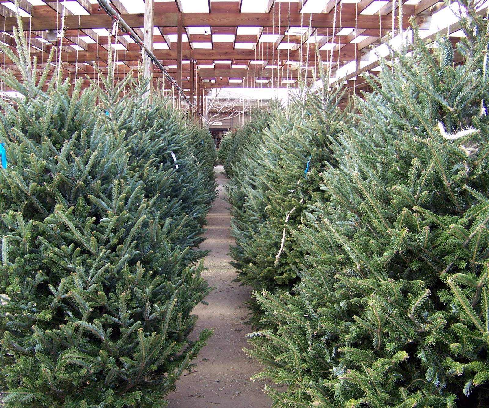 when you purchase your tree from star nursery youll receive a fresh cut on the base of the tree this will allow the tree to easily drink from a - Christmas Tree Nursery