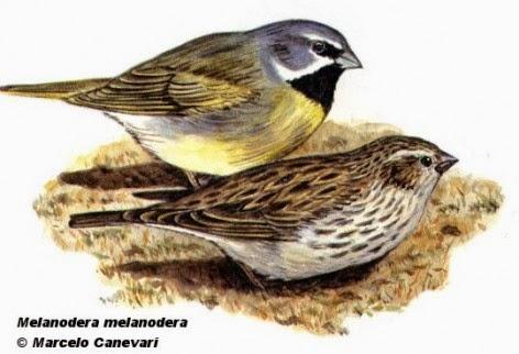 Yal austral, Melanodera melanodera