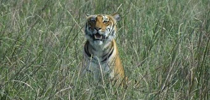 Arti Mimpi Membunuh Harimau