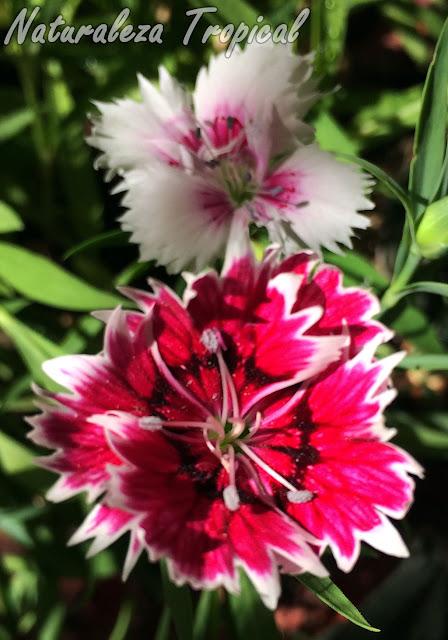 Otras dos variedades de las flores de la Clavelina o Clavel Chino, Dianthus chinensis