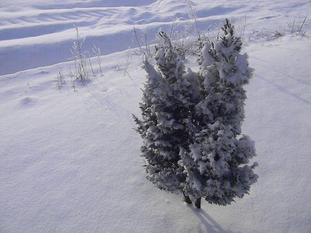 krzew, śnieg, zima, mróz