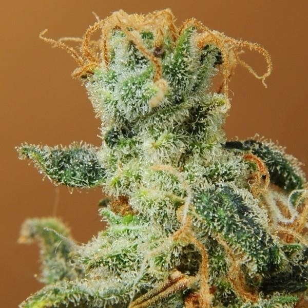 White Castle by Nirvana Seeds