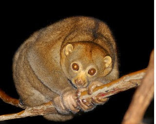 greater slow loris