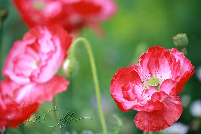 Hot pink poppies - spring flowers