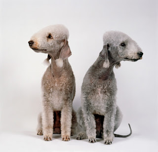 Everything about your Bedlington Terrier