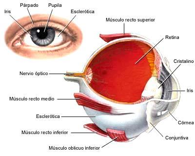 Ilustración de la Vista del hombre externa e interna indicando sus partes