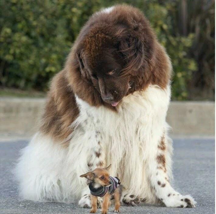See more Big dog, little dog nice looking http://cutepuppyanddog.blogspot.com/