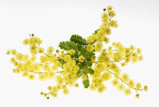 Gambar Bunga Akasia yang Indah 14