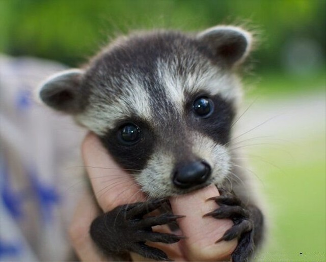 Cutest Little Raccoon young