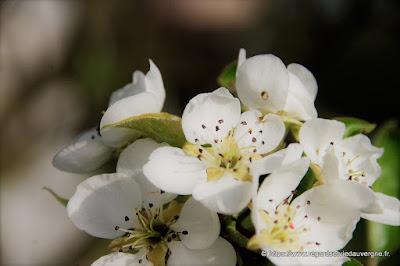 Photo de fleurs de poirier