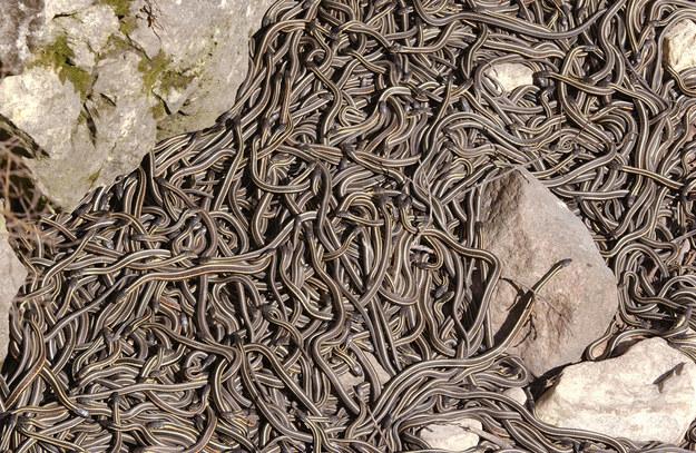 Ular-ular ini bangun dari sarang semasa Hibernasi