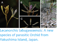 http://sciencythoughts.blogspot.co.uk/2016/12/lecanorchis-tabugawaensis-new-species.html