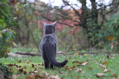 chat gris du jard ' ain