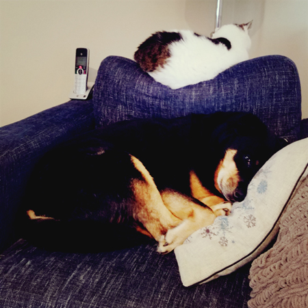 image of Zelda the Black and Tan Mutt curled up on the seat of a blue chair, while Olivia the White Farm Cat naps on the back of the chair