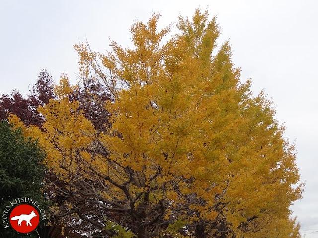 Arbre Ginko en automne à Kyoto au Japon
