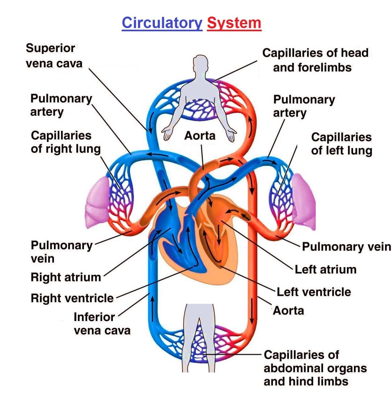 circulatory system definition - HD1228×1244