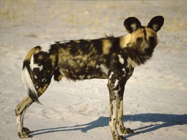 African Wild Dog | Animal Wildlife