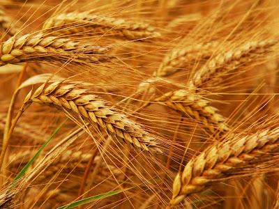 Resultado de imagen de si el grano de trigo no muere