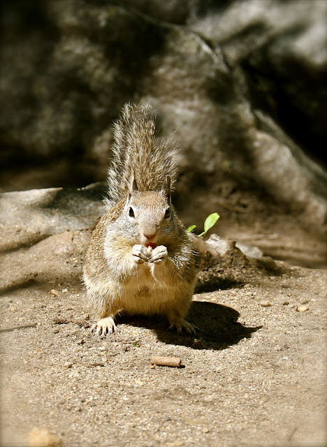the squirel for the christmas ball at yosemity park