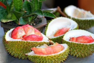 bibit-durian-merah-unggul.jpg