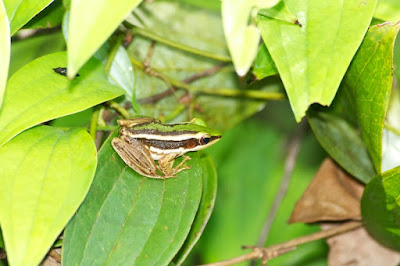 Green Paddy Frog (Hylarana erythraea