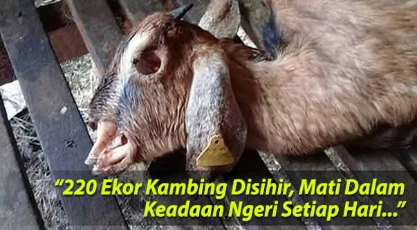 (Gambar) 220 Ekor Kambing Disihir, Mati Dalam Keadaan Ngeri Setiap Hari