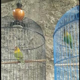 Tips Mengatasi Lovebird Ngeruji (Ngring) ala Om Sigit WMP