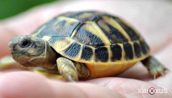 Hewan yang berkembang biak dengan cara bertelur - Kura-kura