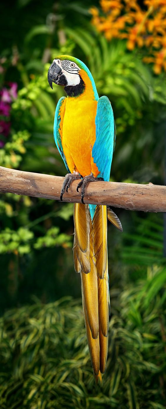 Gold & Blue Macaw (Ara ararauna) | Our World's 10 Beautiful and Colorful Birds