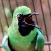 Cara Pemahaman Karakter Burung Cucak Ijo Sebelum Di Lombakan
