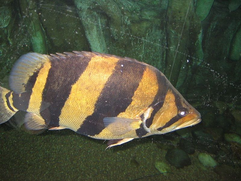 Gambar Ikan Hias Air Payau-Siamese tigerfish