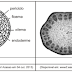 Anatomia e Histologia Vegetal - Gabarito