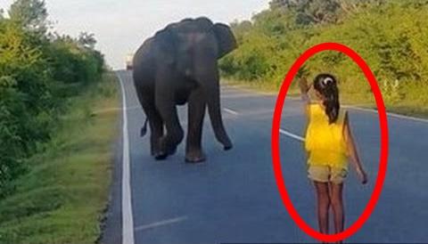 Heboh! Gadis Kecil Ini Berani Halau Gajah Sendirian Untuk Bantu Orang Melintas