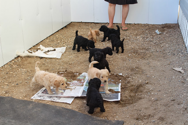 Puppies in large outdoor kennel