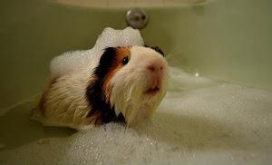 guinea pig taking a bath