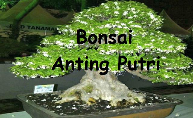 Bonsai Anting Putri Picture