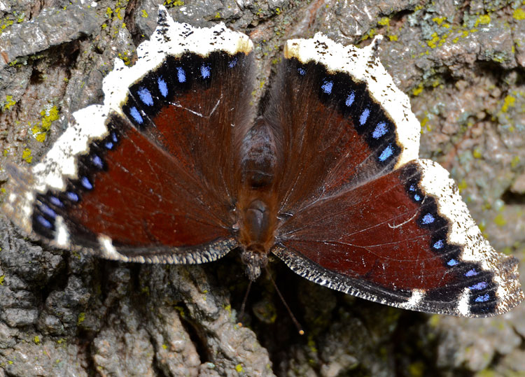 Dorsal view of a Mourning Cloak butterfly; yellow border, black with iridescent blue spots