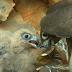 ΤΡΩΓΟΝΤΑΣ ΠΛΑΣΤΙΚΟ! Γεράκια στο Αιγαίο μπερδεύουν το πλαστικό για τροφή...