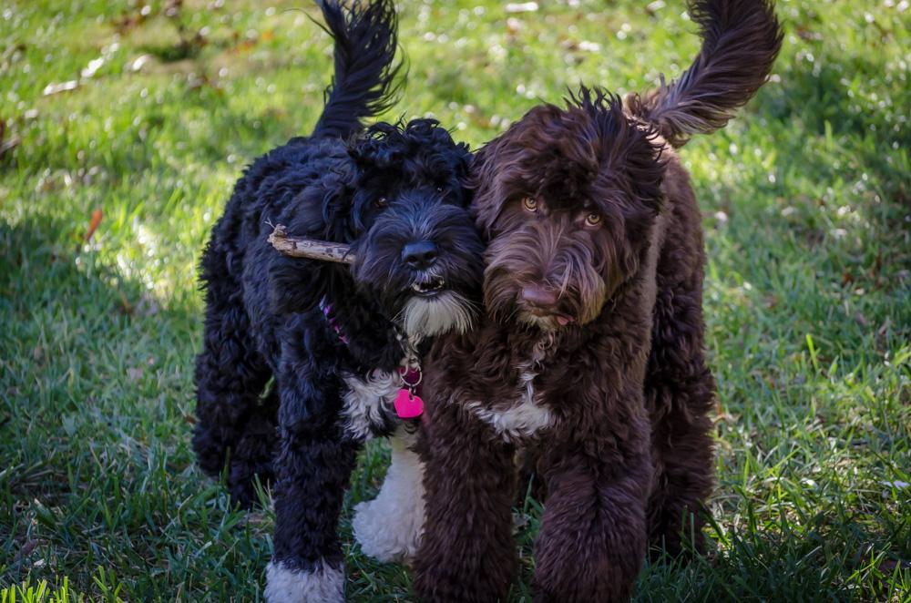 Blue Run Portuguese Water Dogs: November 2016 Portuguese Water Dog Good Bad