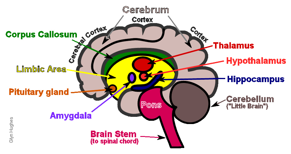 brain diagram inside wiring for pioneer radio labeled parts choice image human internal organs god of the online schematic