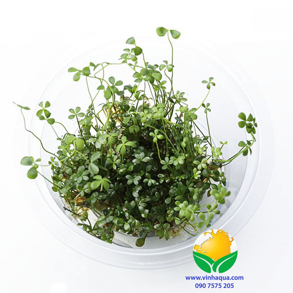 Cây thủy sinh cỏ bợ 4 lá - Marsilea Hirsuta
